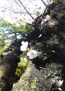 がんばる桜